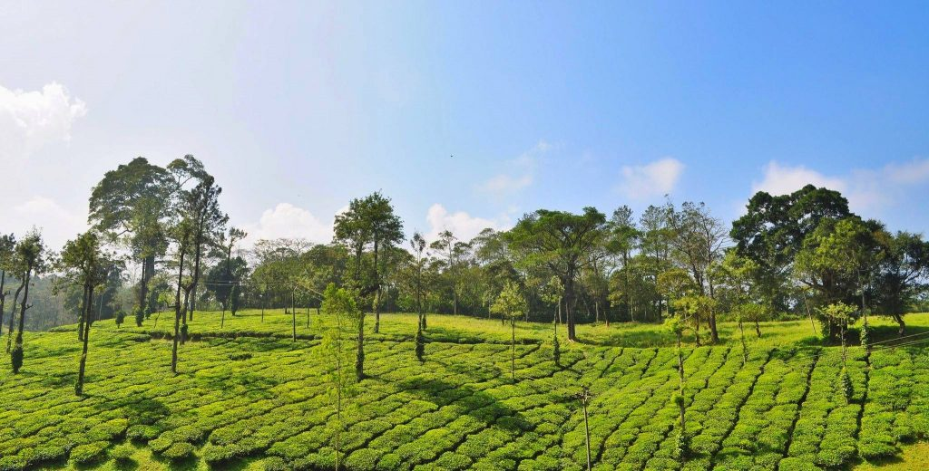 Tea gardens places to visit in Thekkady