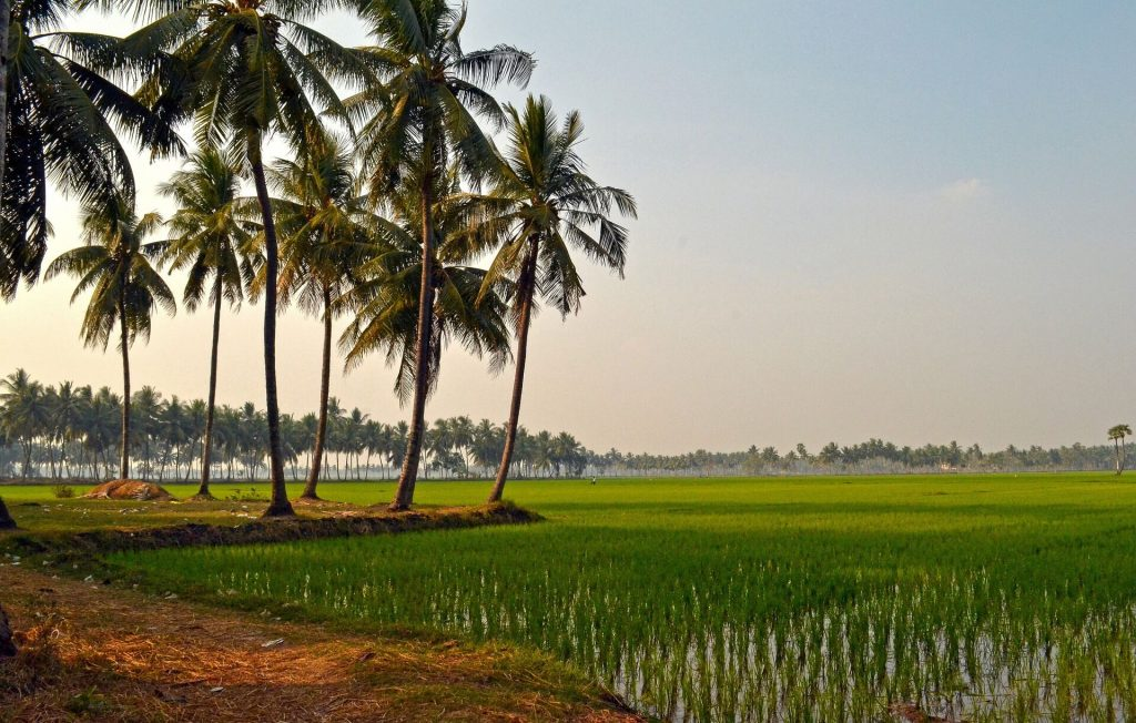 Kerala rice fields